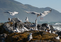 Gulls on the beach near Oaro, south of Kaikoura